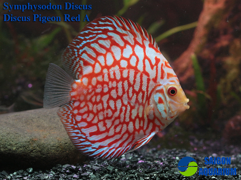 Red Pigeon Discus